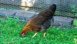 welsummer chickens chicken breeds