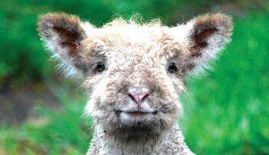 livestock photos lamb
