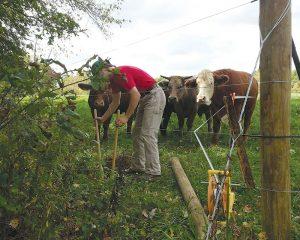 livestock photos cows cattle