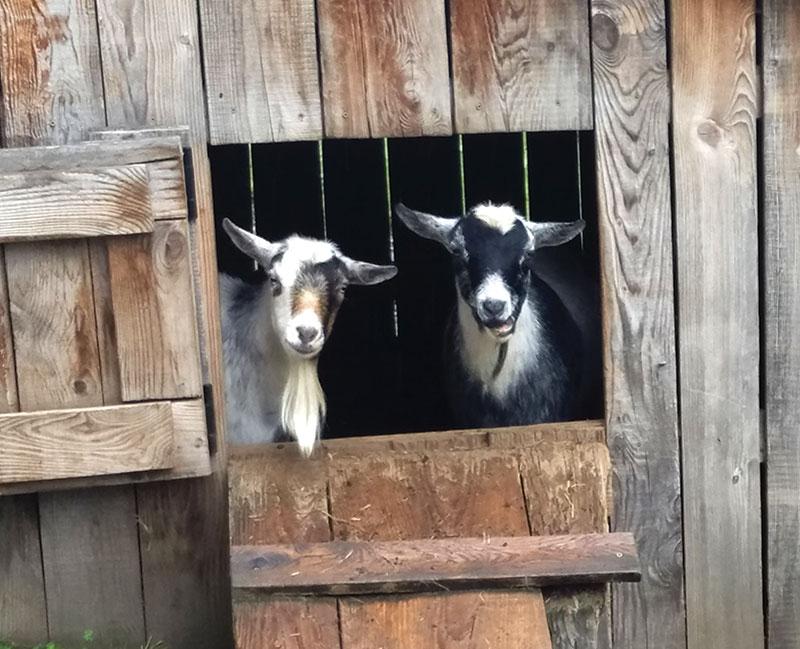 livestock photos goats