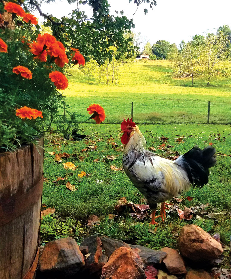 livestock photos rooster chicken