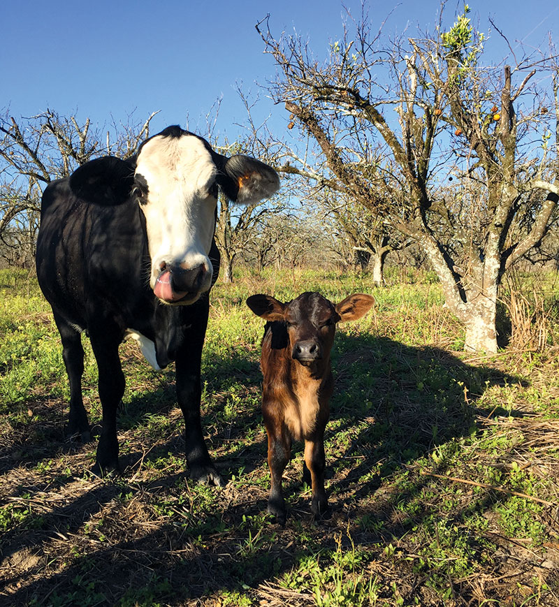 livestock photos cow calf