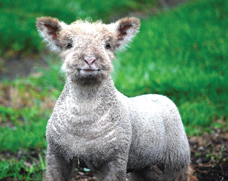 livestock photos lamb lambs