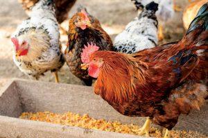 chicken health dehydration