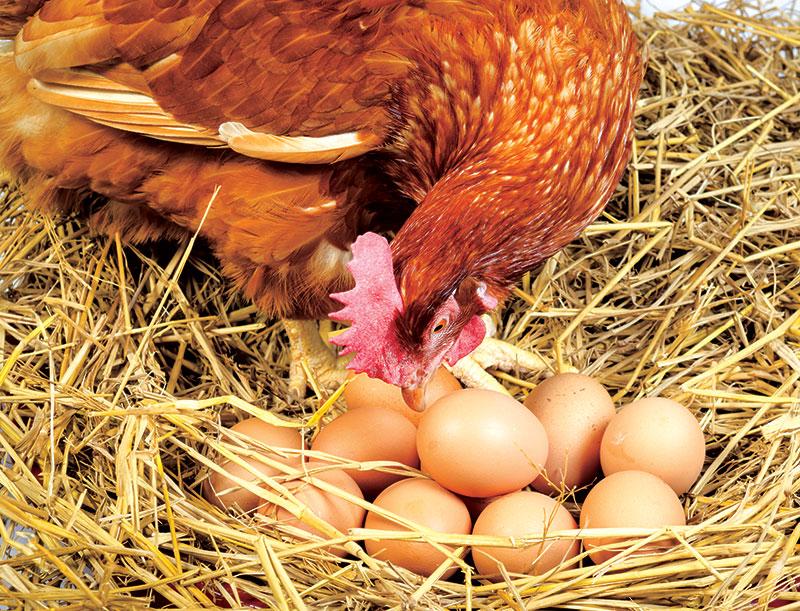 chicken health egg eating