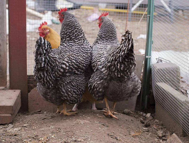 chicken photos