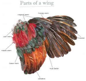 chicken feathers wing diagram