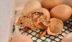 chicks hatching incubation incubator