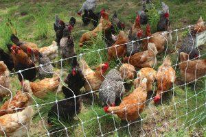 chicken-keeping chickens history