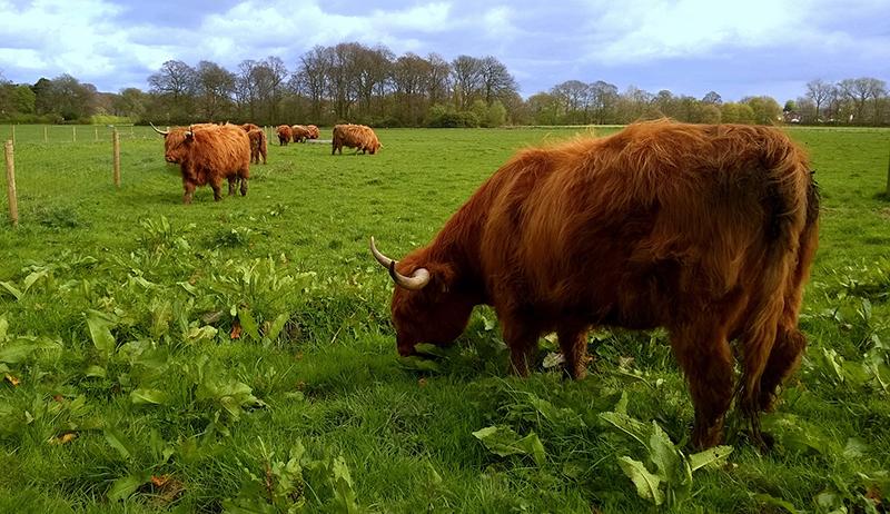 cattle grazing seasonal pasture cow