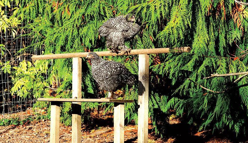 chicken chickens health environmental enrichment