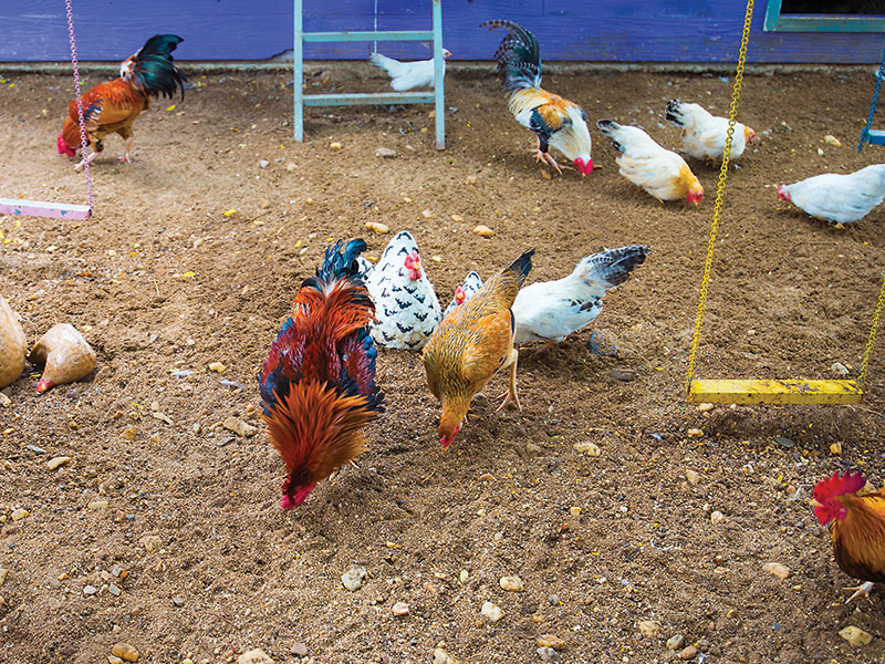 chicken health environmental enrichment