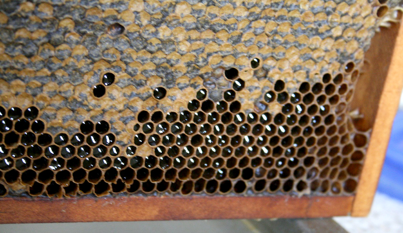 capped uncapped honey bees beehive dearth