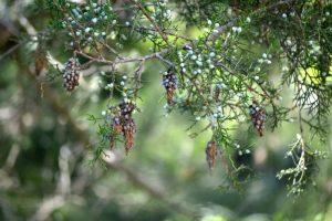 bagworms in cedar tree