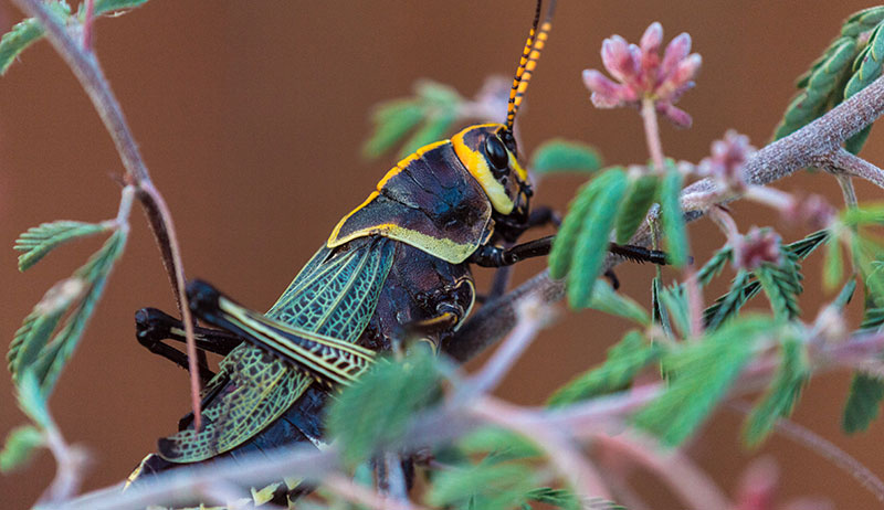 horse lubber grasshopper grasshoppers