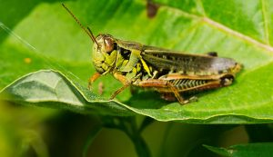 grasshopper grasshoppers