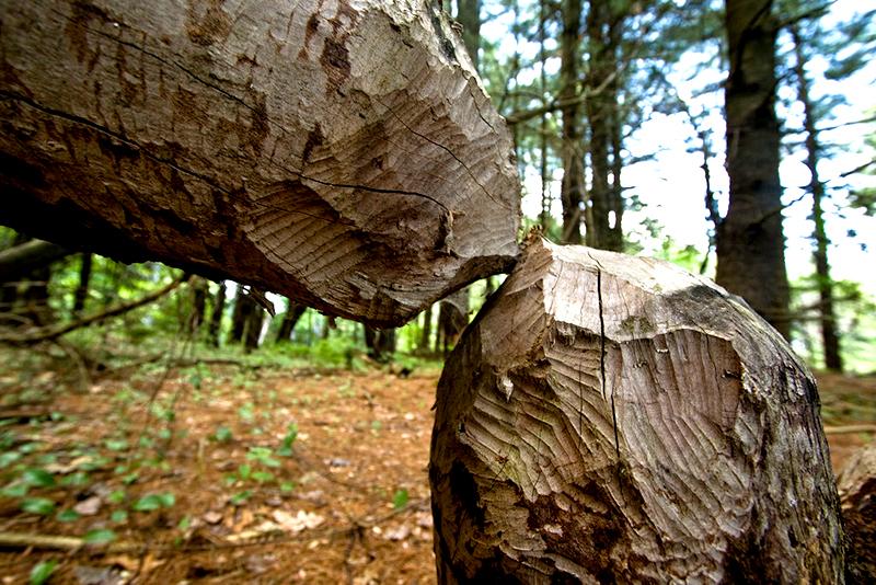 beaver beavers trees
