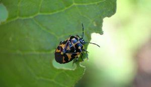 kale pests harlequin bug