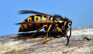 hornet hornets wasps bees