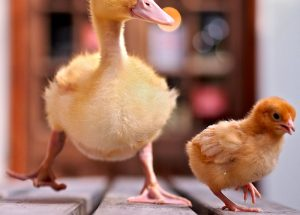 chick duckling poultry farming