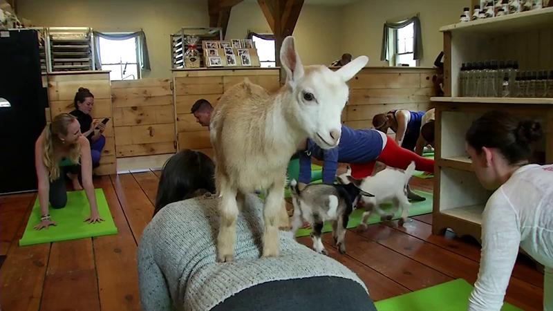goat yoga goats business