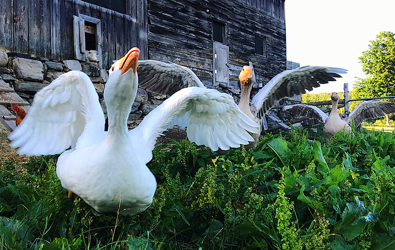 roman geese goose breeds