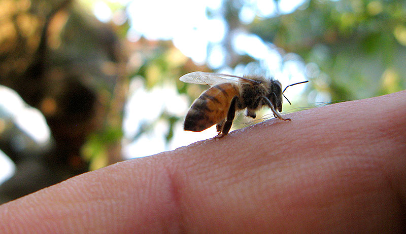 bee sting bees stung