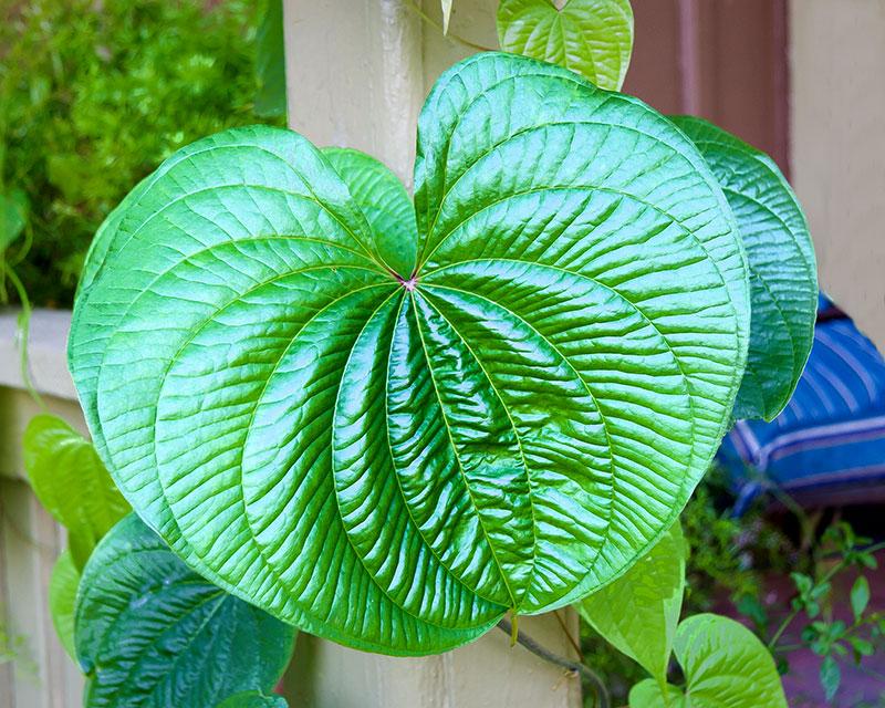 air potato leaf