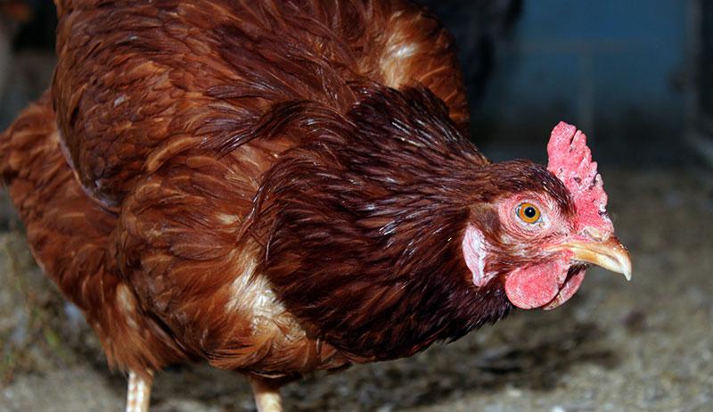 fall chicken breeds rhode island red