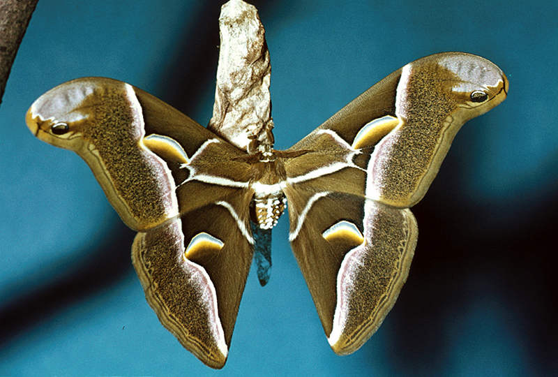 silkworm moth Samia cynthia Ailanthus silkmoth