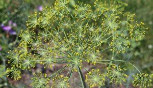 saving herb seeds