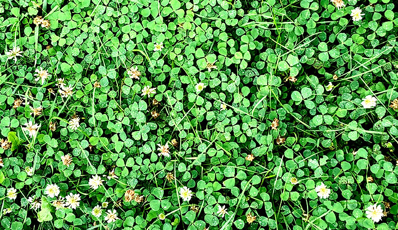 chickens weeds feed white clover