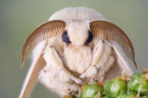 silkworms silk moth