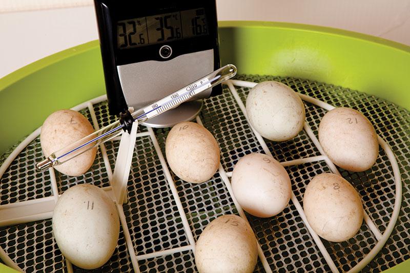 incubate eggs incubator chicks chickens