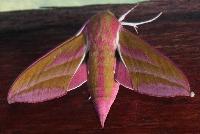moths elephant hawk moth