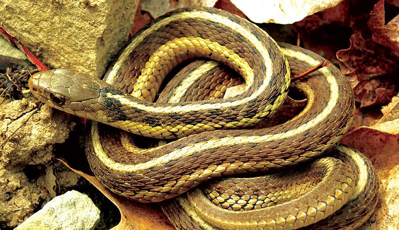 snakes garter snake plains