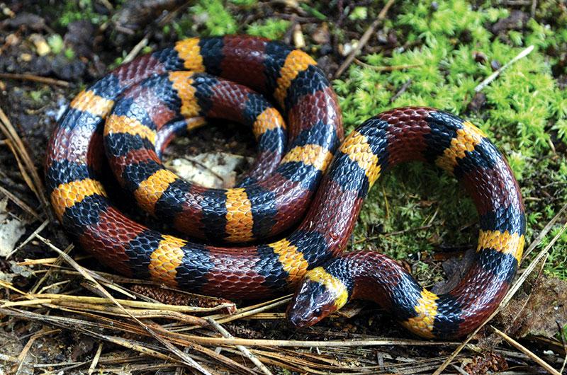 snakes king snake