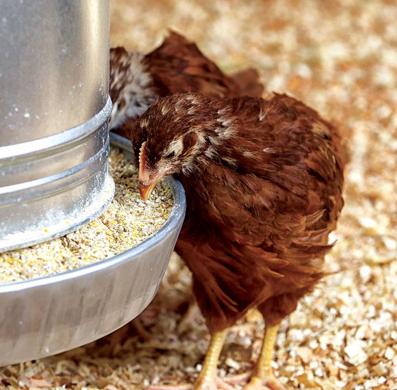 chicken feed chicken-keeping term