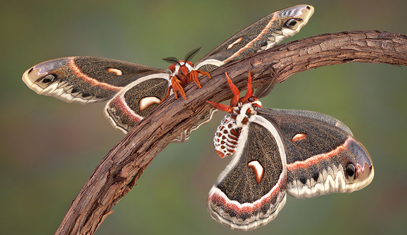 cecropia wild silk moth moths