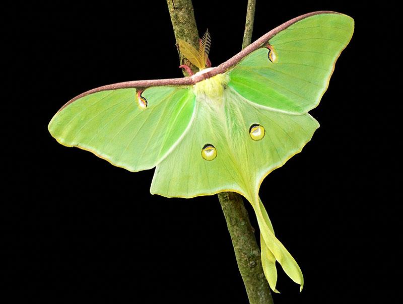 luna moth wild silk moths