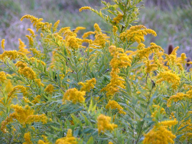 goldenrod herbs herbal roots medicinal