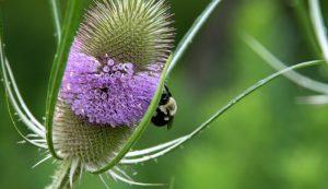 teasel herbs medicinal roots