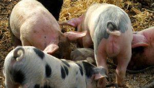 pig manure management