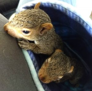 wildlife rehab rehabilitation baby squirrels