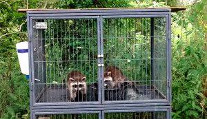 wildlife rehab rehabilitation raccoons