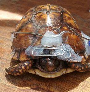 wildlife rehab rehabilitation turtle repaired shell
