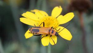 predatory beetles leatherwing