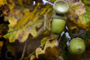 acorns