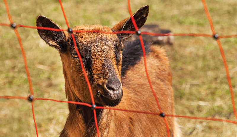 rotational grazing goat