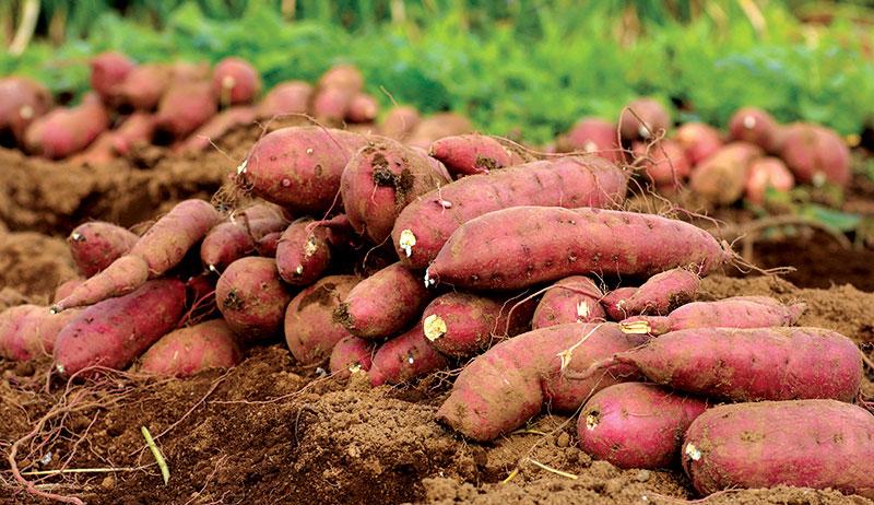 dry farming sweet potatoes